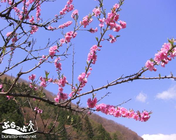 achi_sakura11407.jpg