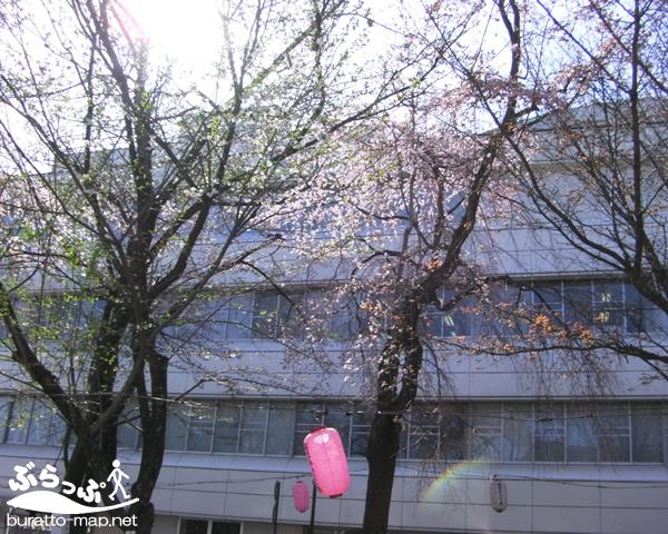 sakura12iida02013.jpg